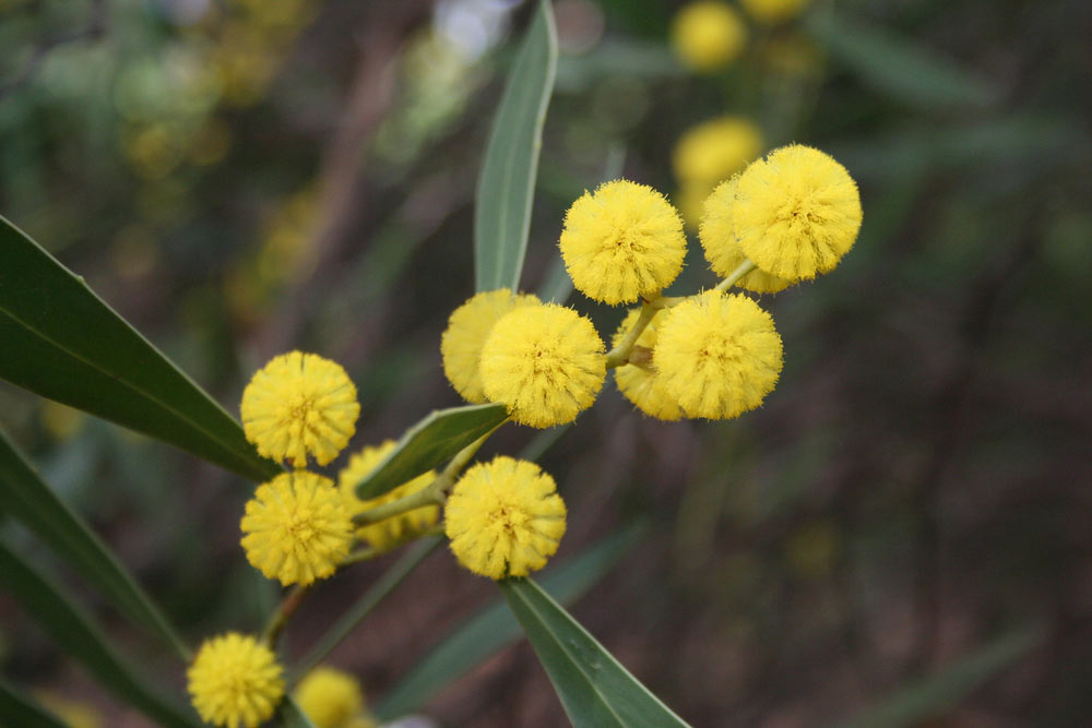 Golden Wattle