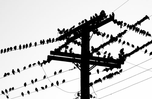 birds perched on telephone lines