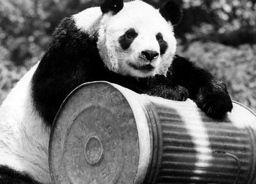 Chi Chi panda